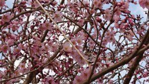 釈迦堂川土手の早咲き桜