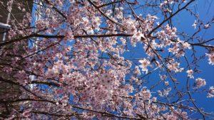 釈迦堂川小彼岸桜