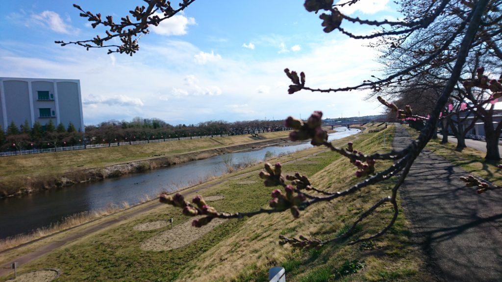 釈迦堂川のソメイヨシノ
