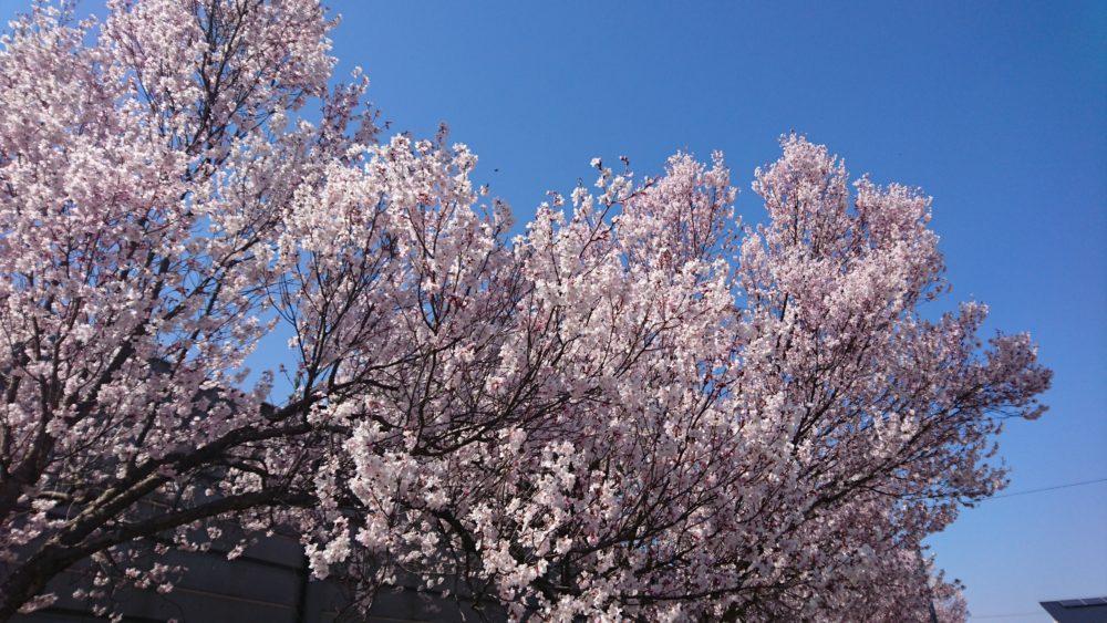 芹沢町の桜