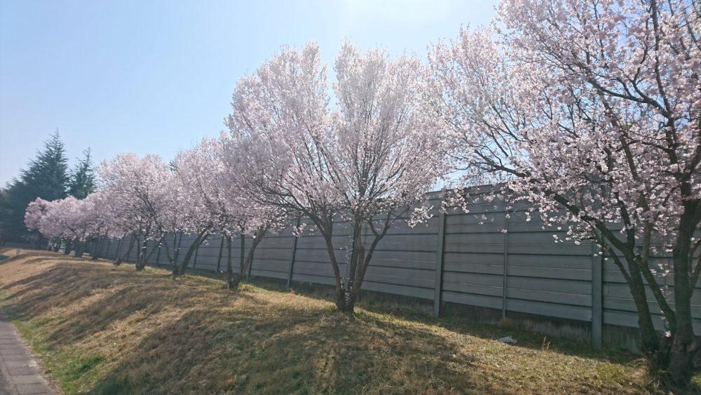 芹沢町防音壁桜