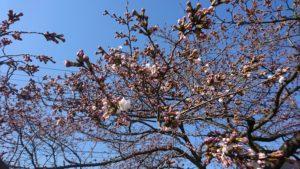 釈迦堂川のソメイヨシノ開花