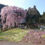 松雲寺観音しだれ桜