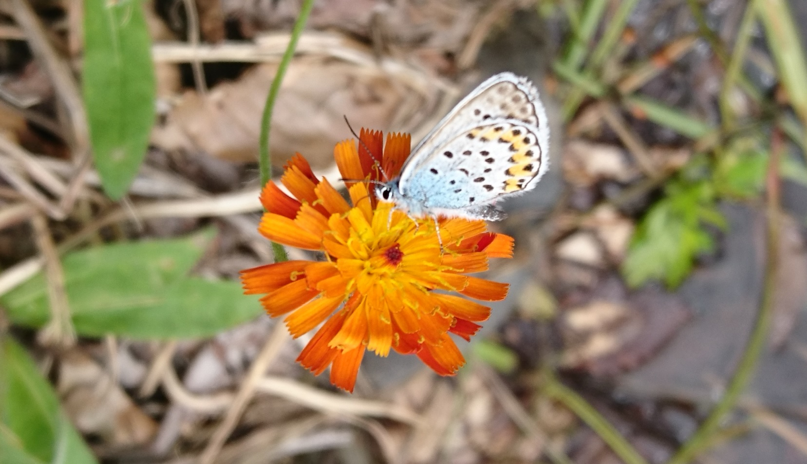 三岩岳登山駐車場で出会った蝶々