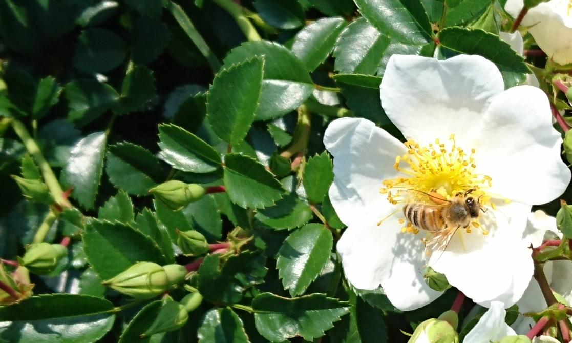 白薔薇とミツバチ
