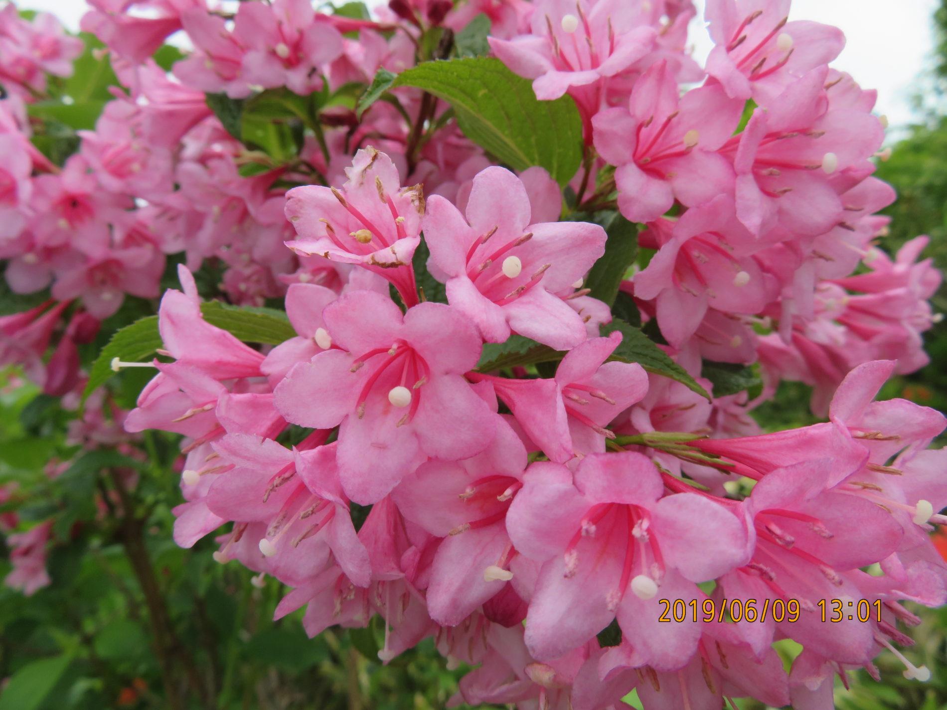 雄国ピンク花