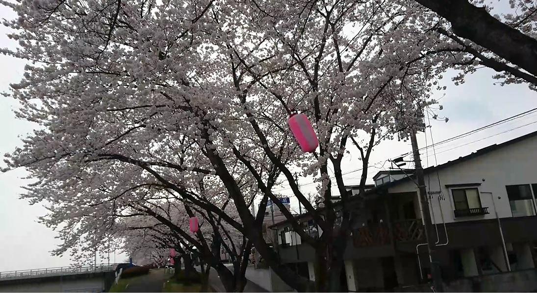 暖気亭前_釈迦堂川の桜5