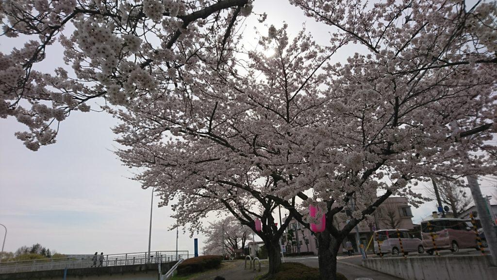暖気亭前_釈迦堂川の桜6