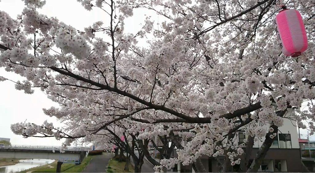 暖気亭前_釈迦堂川の桜