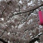 暖気亭前_釈迦堂川の桜2