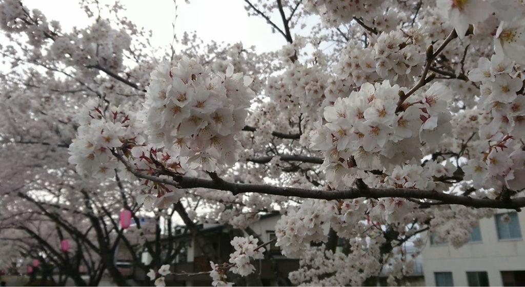 暖気亭前_釈迦堂川の桜3
