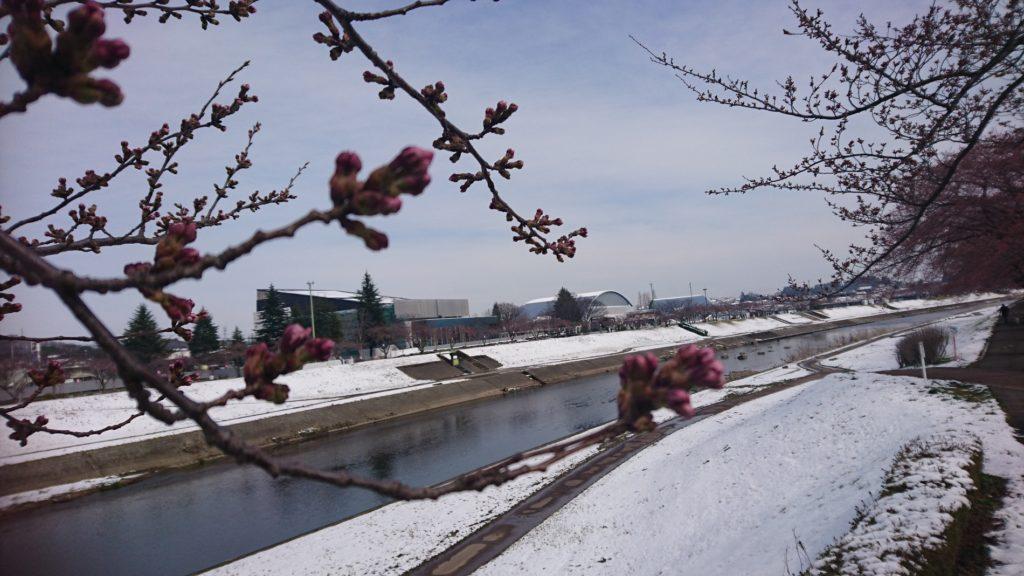 遅い雪と桜と釈迦堂川DSC_1210
