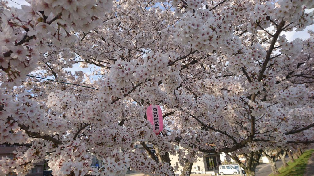 釈迦堂川桜満開DSC_0032