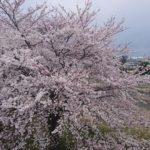 釈迦堂川橋桜DSC_0031