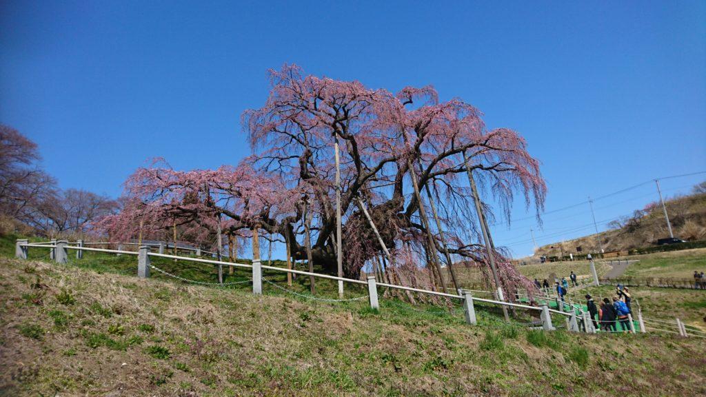 三春滝桜DSC_1398
