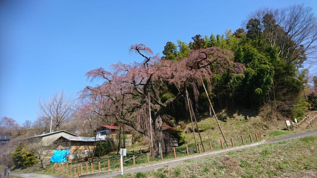 郡山 地蔵桜DSC_1403