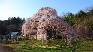 須賀川 横田御殿桜DSC_1452