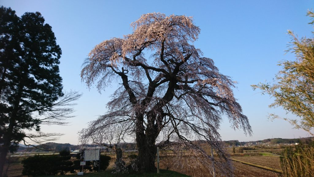 須賀川 古舘の桜DSC_1485