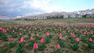釈迦堂川桜と鯉のぼりDSC_0057
