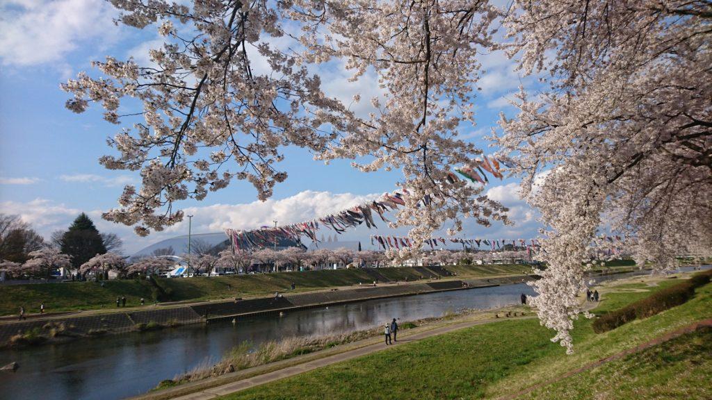 釈迦堂川桜と鯉のぼりDSC_0012