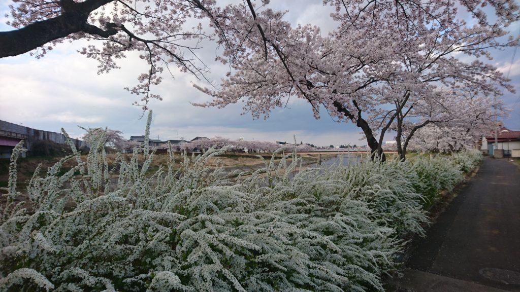 釈迦堂川桜と雪柳DSC_0068