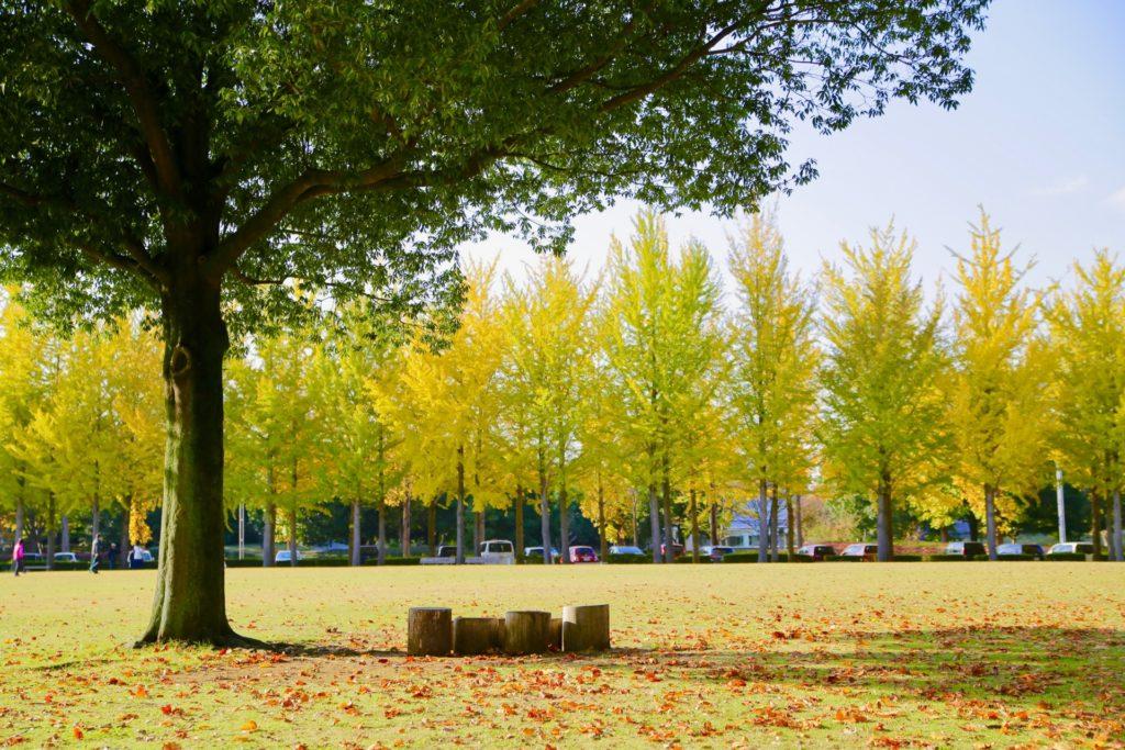 秋の銀杏7