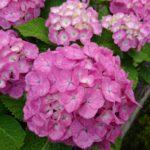 あじさいの花DSC_0468