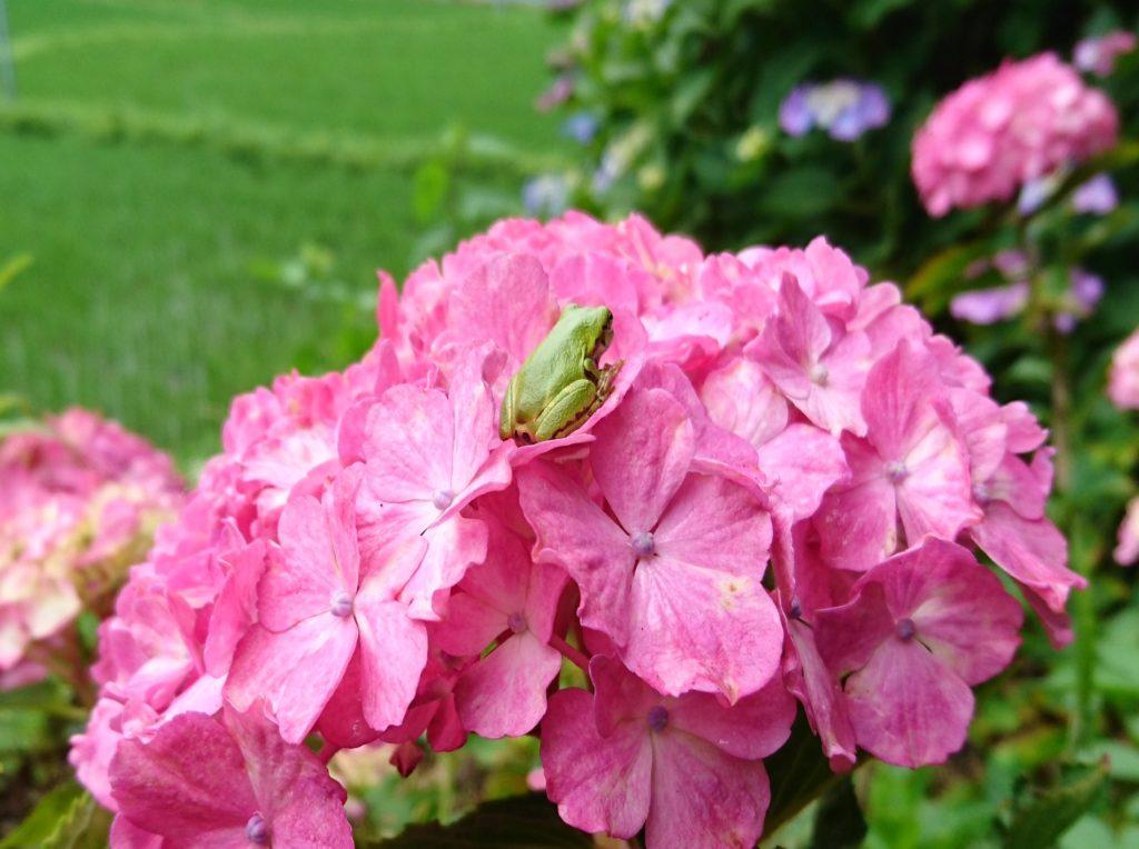 古寺山紫陽花と蛙