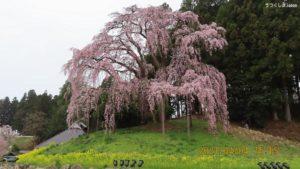 合戦の桜(夫婦桜)